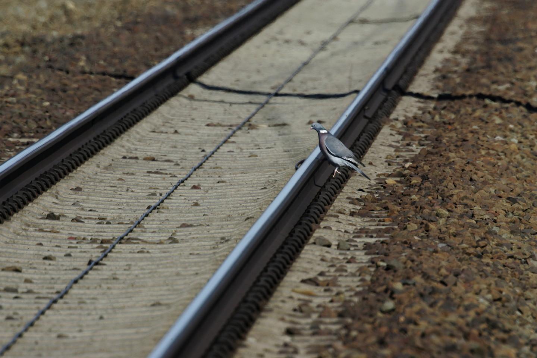 Taube will aufs Gleis