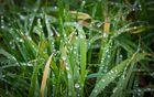 taubedecktes Gras