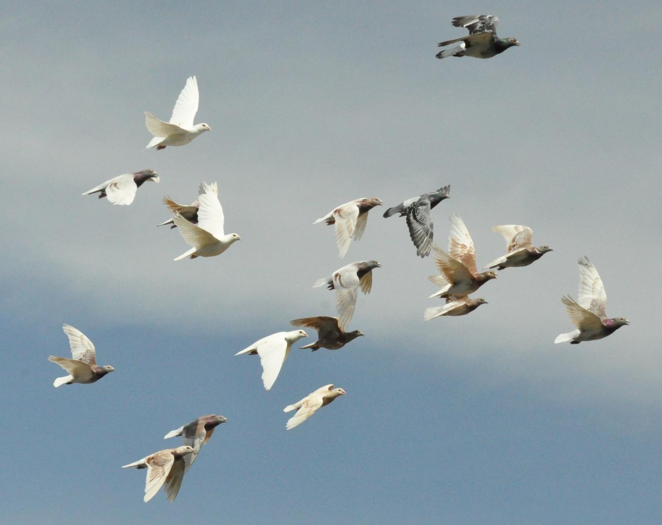 Tauben 02: Tauben schiessen