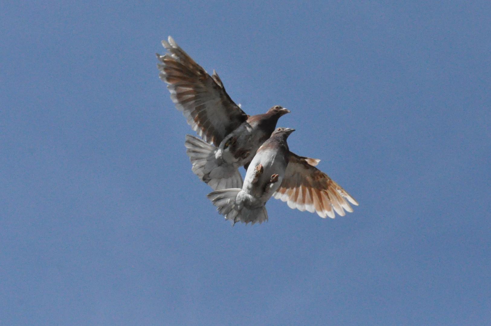 Tauben 03: Doppeltflug