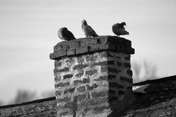 Tauben auf den Dächern von koblenz