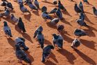 Tauben auf Sepia-Sand