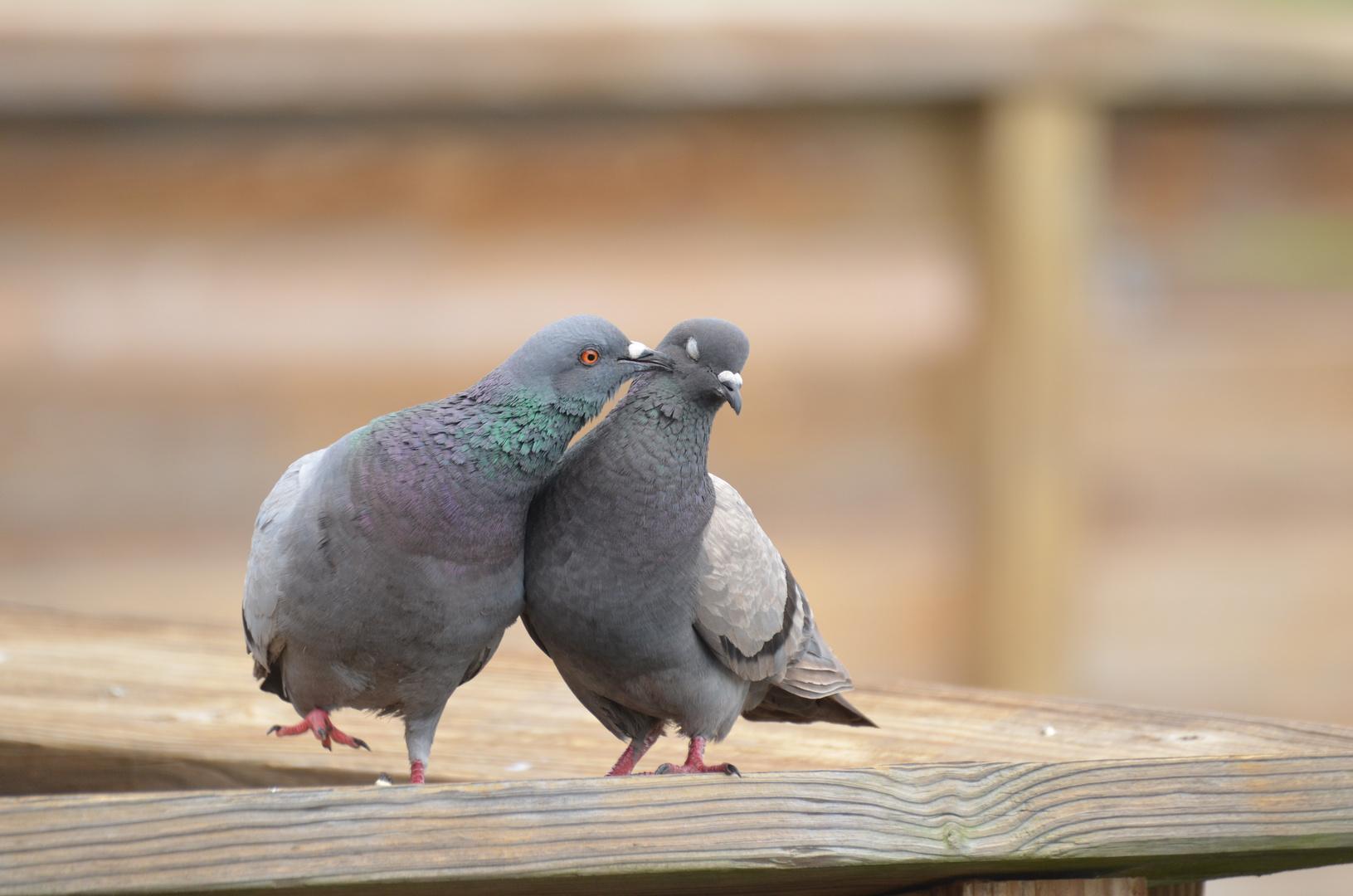 Tauben Flirt