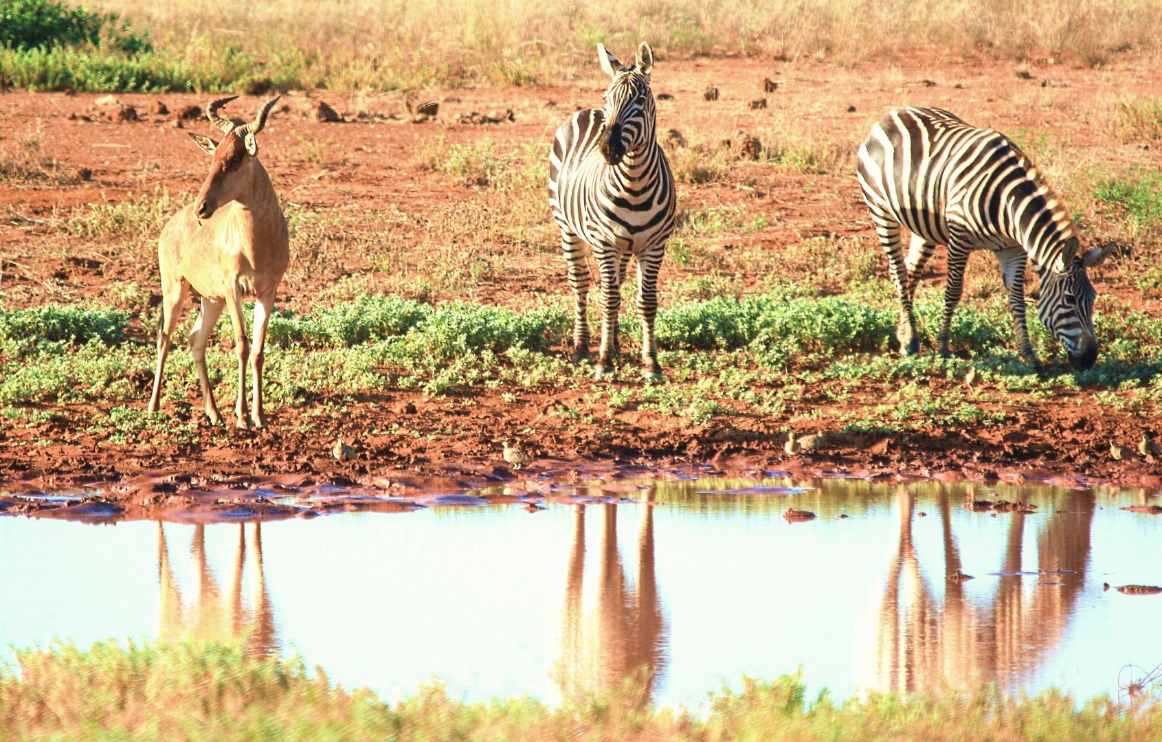 Tauben, Gnu und Zebras