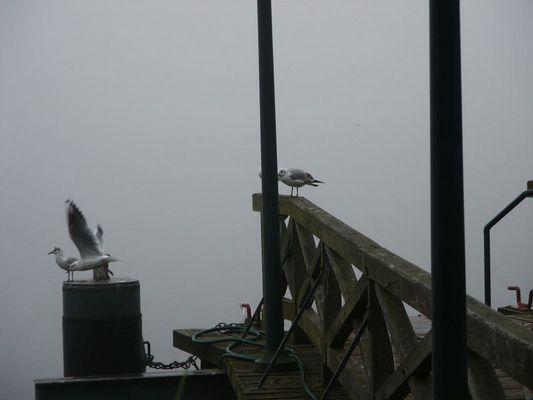Tauben im Nebel