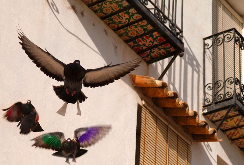 Tauben in Altea
