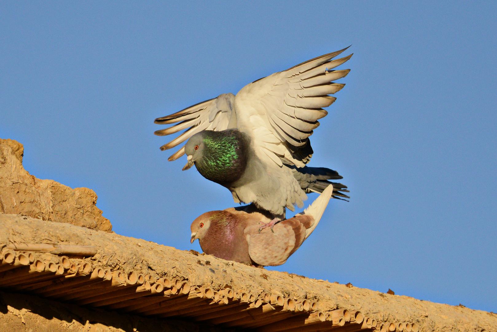 Tauben in Marokko