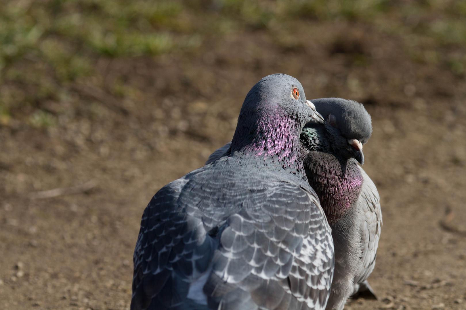 Tauben mit Frühlingsgefühlen