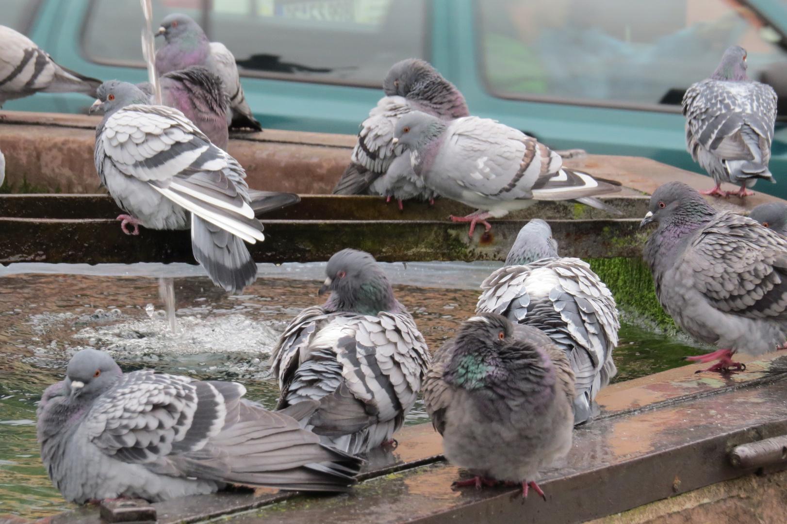 Tauben Treffpungt am Brunnen