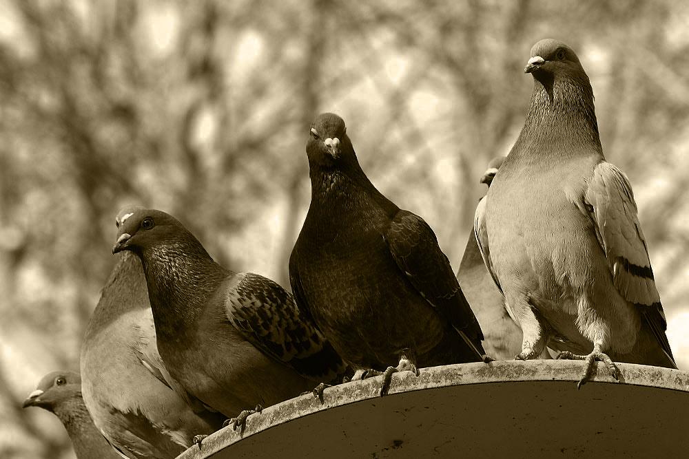 Taubengeflüster