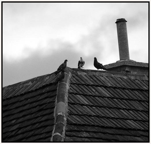 Taubengeschwätz