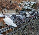 Taubenpäuschen