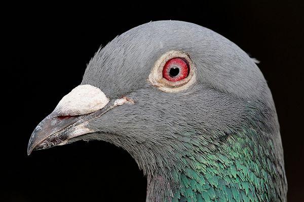 Taubenportait