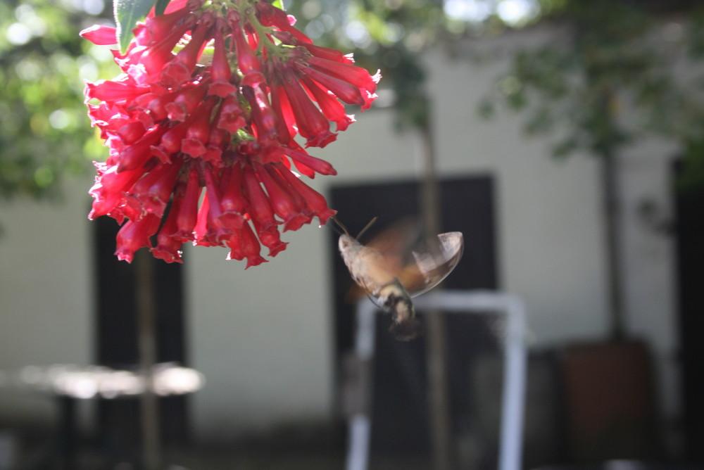 Taubenschwänzchen