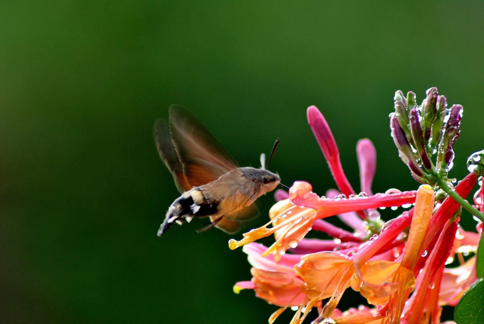 Taubenschwänzchen an Geißblattblüte.....