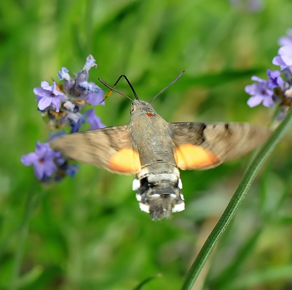 Taubenschwänzchen an Lavendel