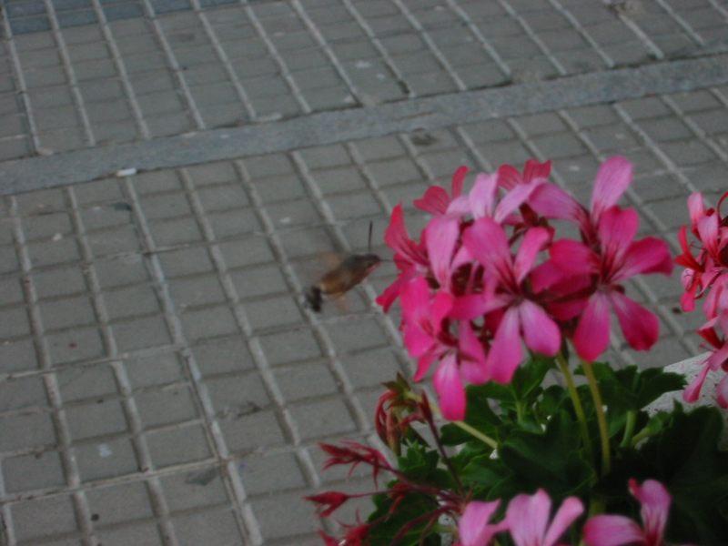 Taubenschwänzchen - Falter - (Macroglossum stellatarum)