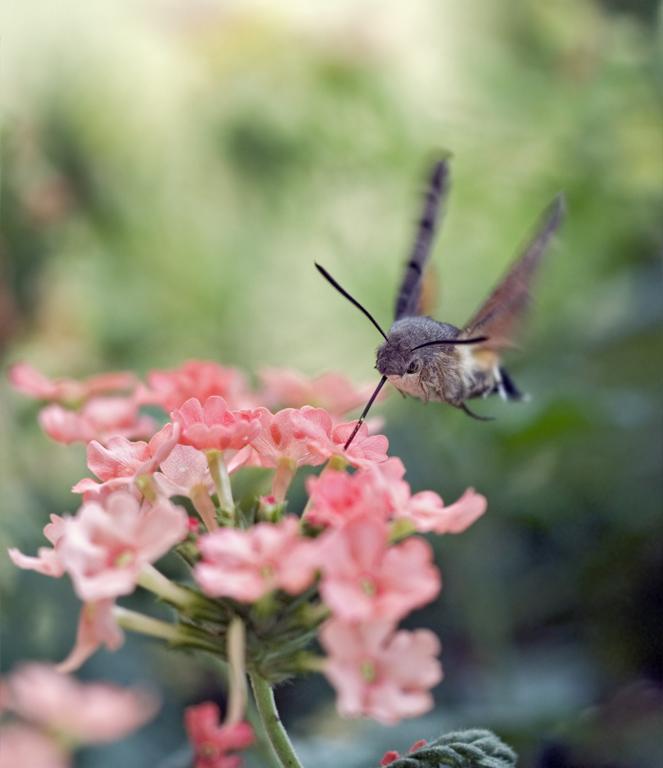 Taubenschwänzchen im Kolibriflug