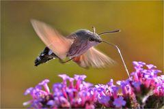 Taubenschwänzchen in der Luft stehend......