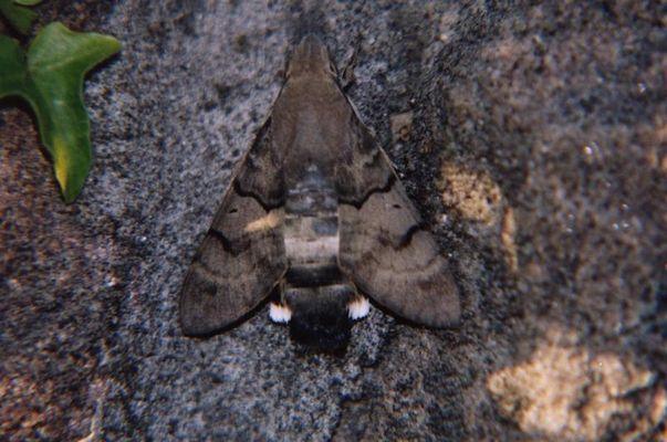 Taubenschwänzchen - Macroglossum stellatarum