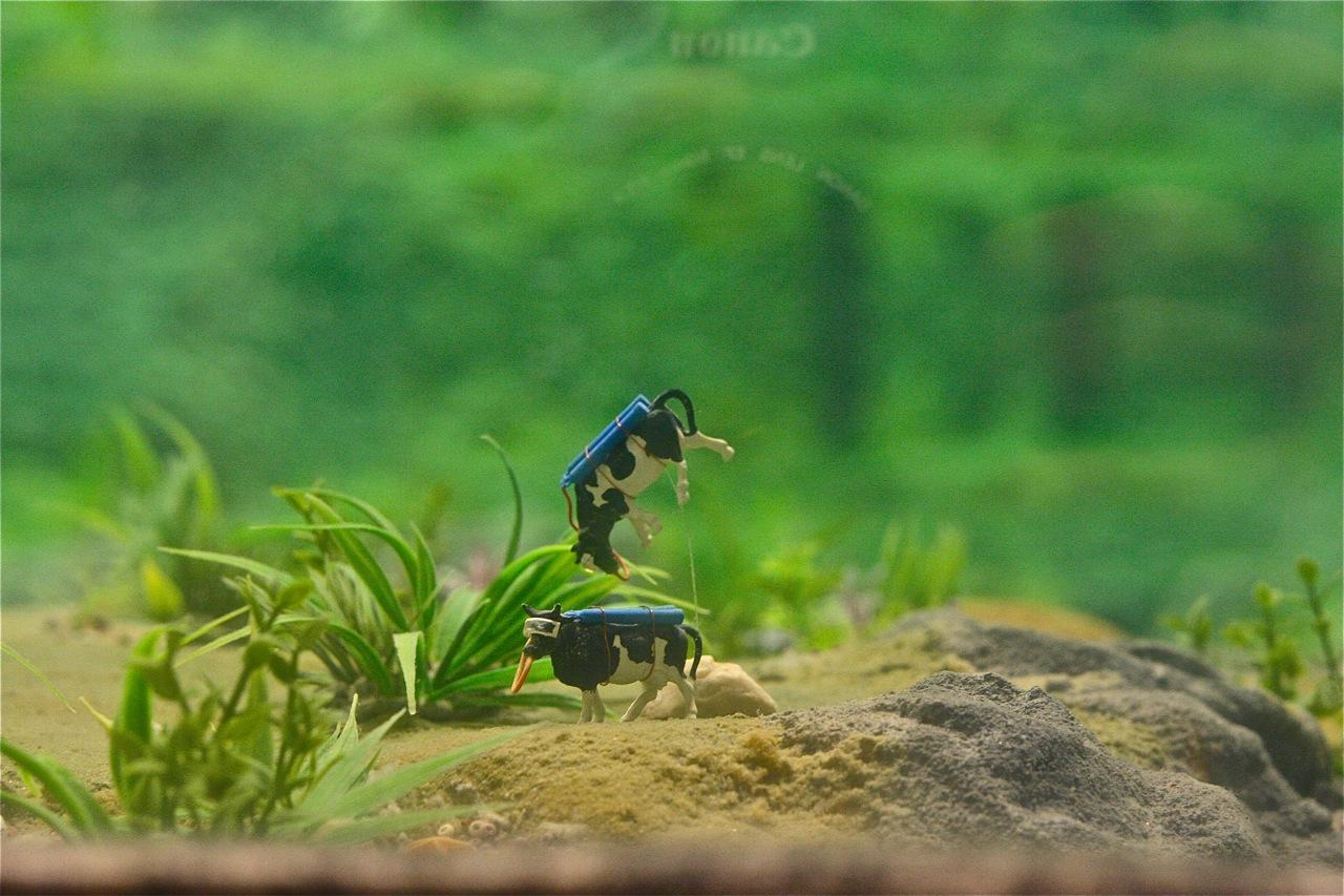 Tauchkühe im Miniaturwunderland
