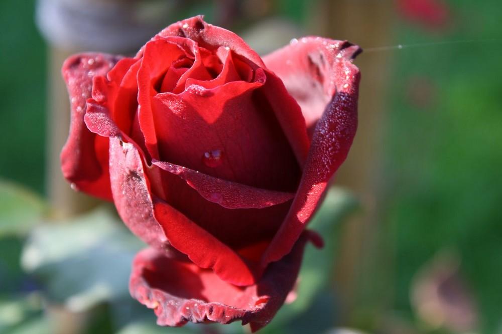 tauende Rose