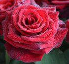 Taufrische rote Rose