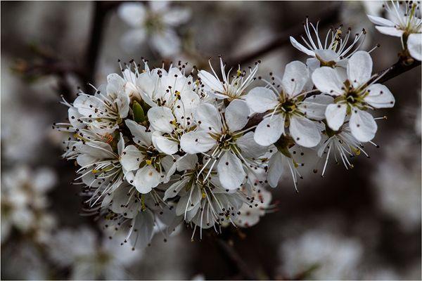 Tausend weiße Frühlingssterne