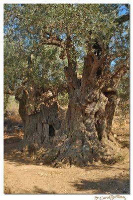 Tausendjährigen Olivenbäumen