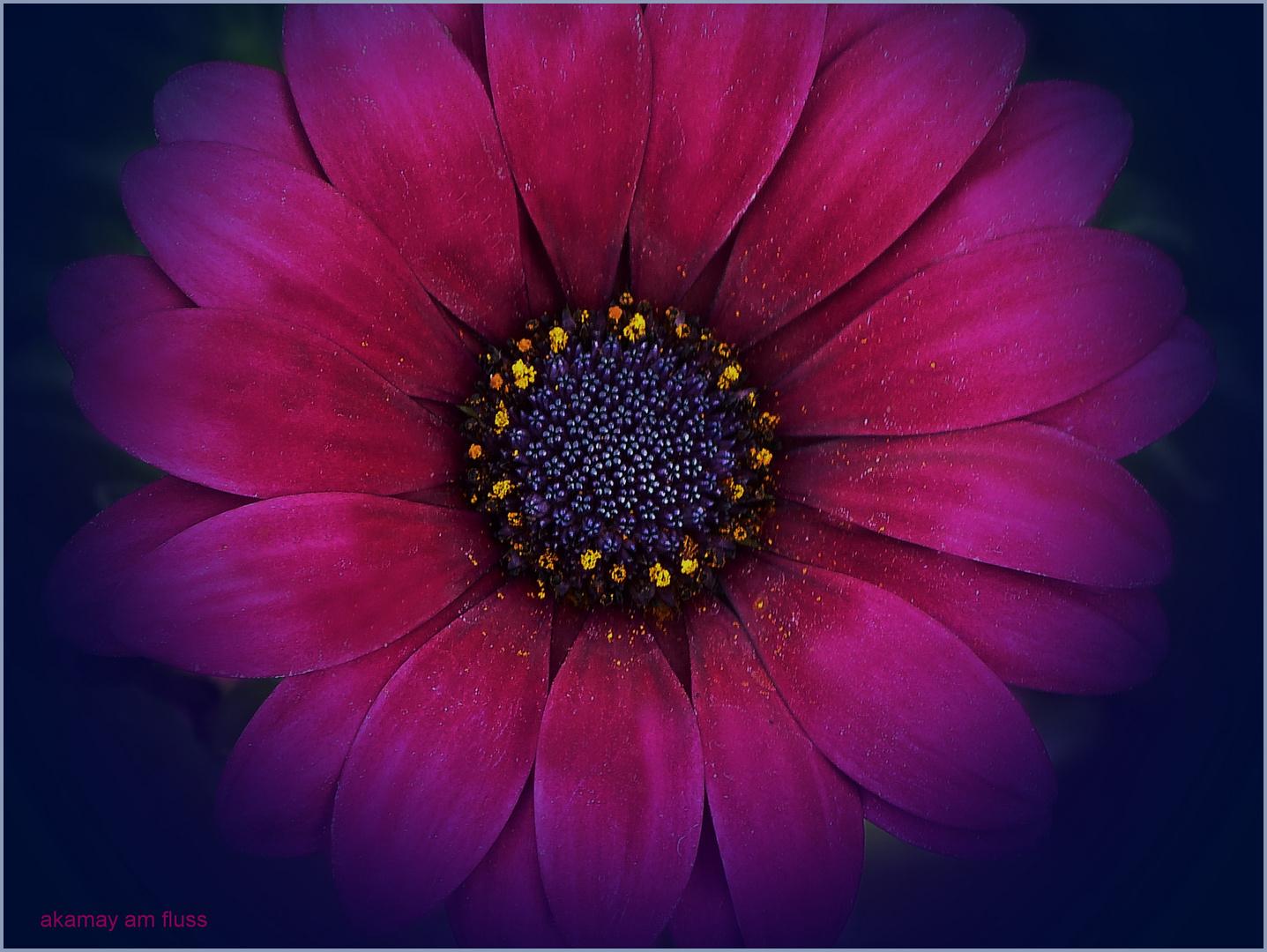 Tausendundeine-Nacht-Blüte - Magerite