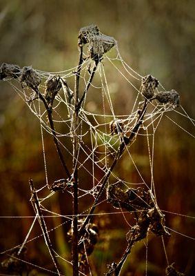 Tautropfen an Spinneweb auf vertrockneten Pflanzen
