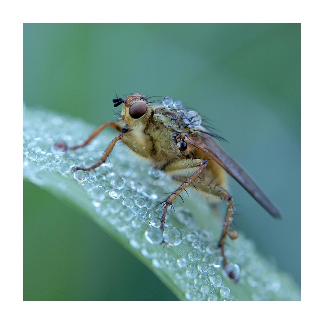 Tautropfen und Fliege