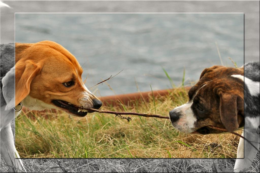 Tauziehen auf Hundisch