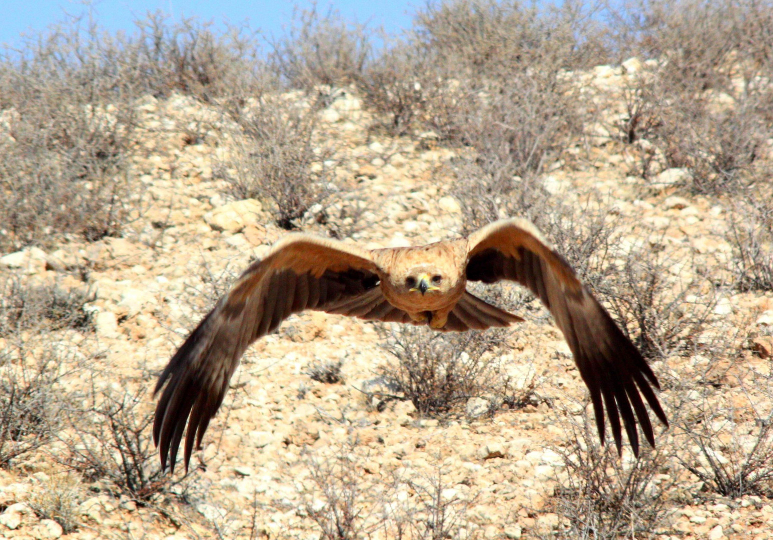 tawny eagle - kalahari