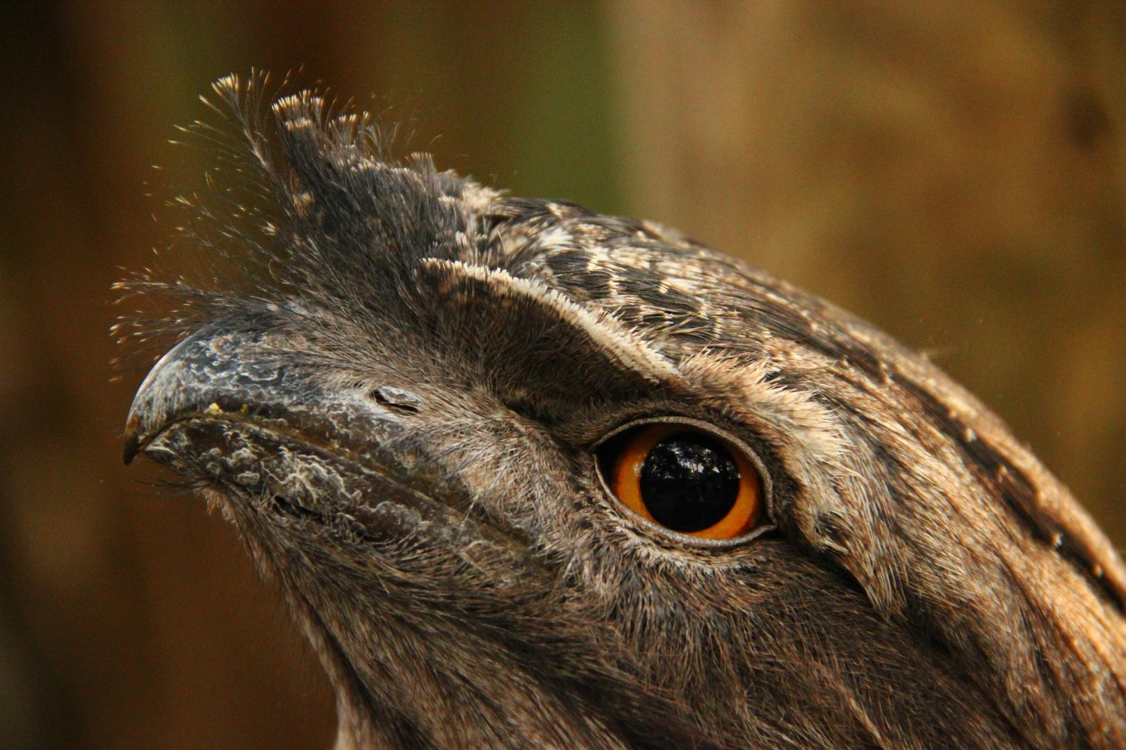 Tawny Frogmouth - der kleine Froschmund