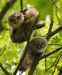 Tawny owl little ones