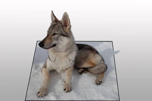 Tchechoslowakischer Wolfshund