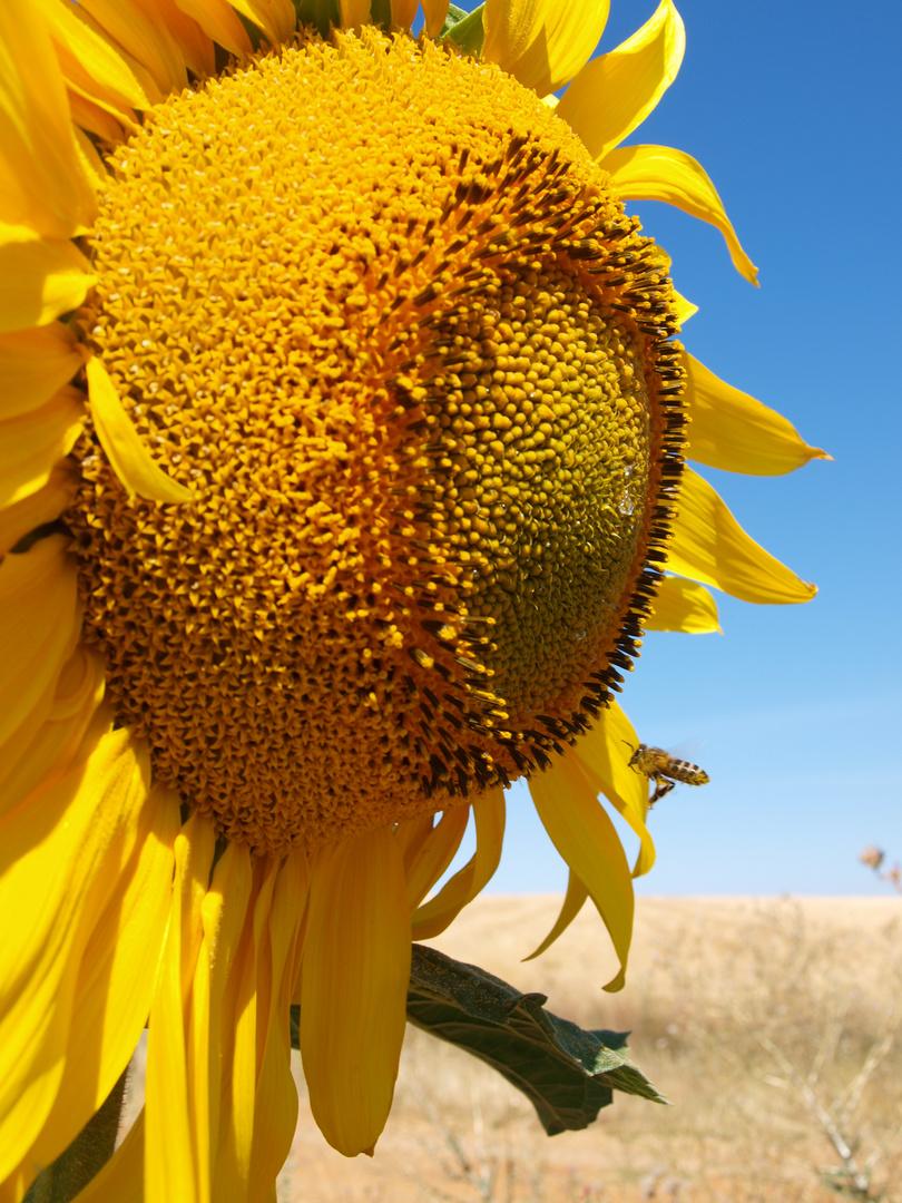te quiero girasol, dijo la abeja