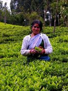 Tea Harvester in Ooty, Tamil Nadu, South India__Teepflueckerin in Ooty