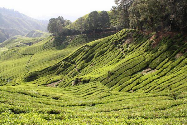 Tea plantage, Cameron Highlands