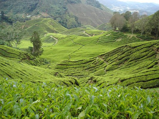 Teafields in Cameron Highlands / Malaysia