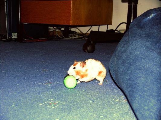 Teddy-Hamster