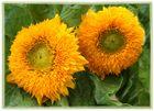 Teddy Sonnenblumen