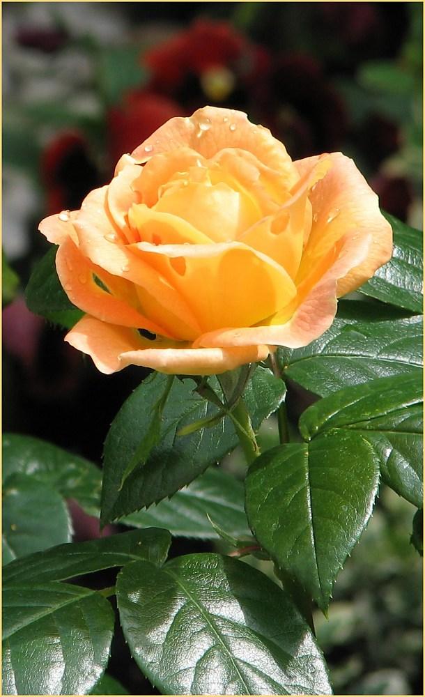 Tee-Rose