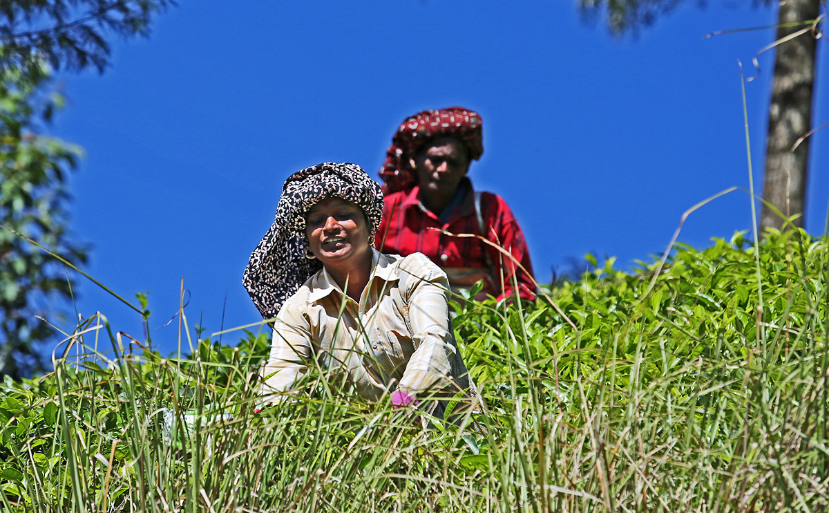 Teeernte in den Bergen von Munnar, Indien, Kerala