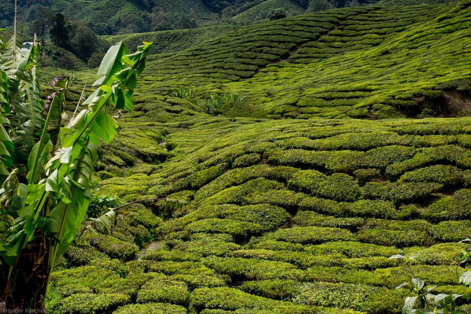 Teefelder in den Cameron Highlands Malaysia