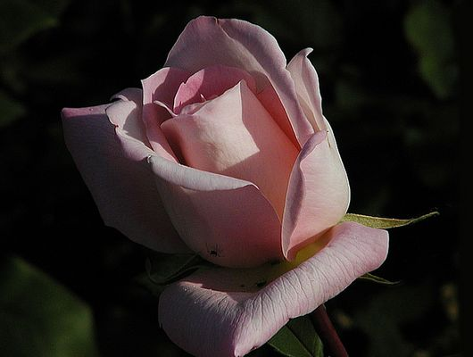 Teehybrid-Rose 'Michelle Meilland' 2