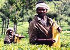 Teepflücker in Kerala, Indien