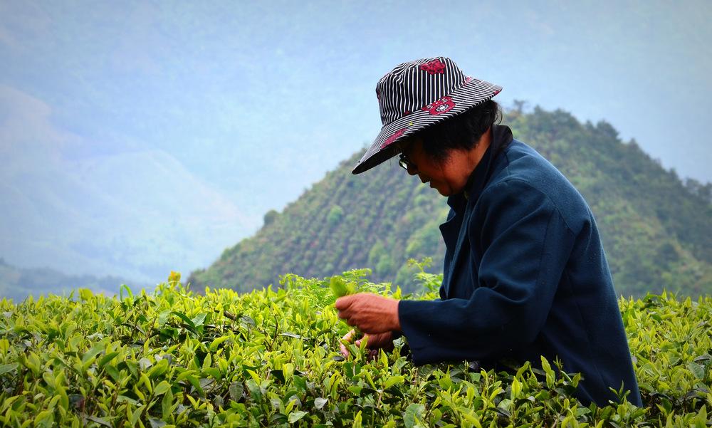 Teepflückerin im Tianmu Gebirge