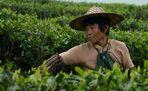 Teepflückerin in der Provinz Fujian